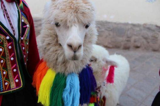 Alpaka in Peru - Mensch in traditioneller Kleidung